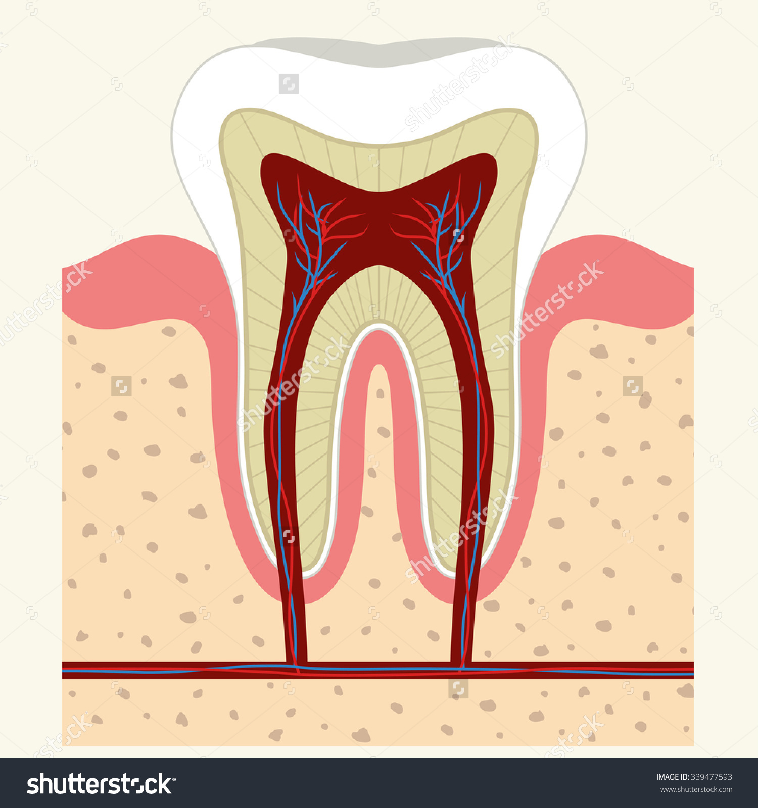 stock-vector-human-tooth-and-gum-in-a-cross-section-root-canal ...